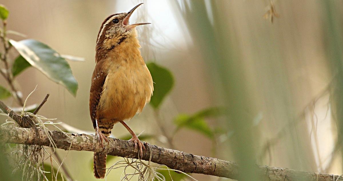 Singender Vogel